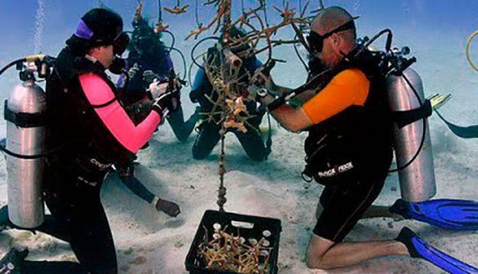 Restauración de corales en Guanahacabibes